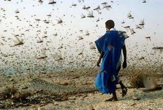 Locusts-swarm